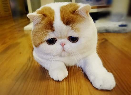 吐舌的表情,反而让他成为可爱又治愈的网路红猫呢