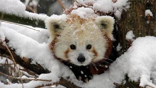 萌物系列 小熊猫爆萌玩雪姿态 偷偷抱走一只吧