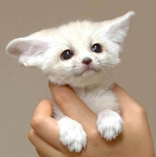 萌物系列 超萌杀大耳朵 耳廓狐  大家快来看看这只可爱的小动物.