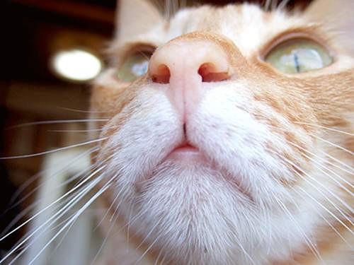 萌物系列 猫那可爱的小鼻头